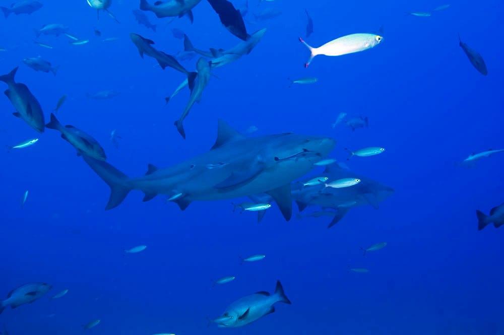 squalo carcarinide