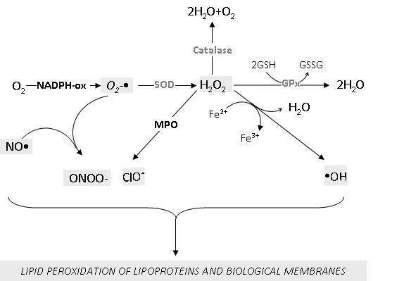 Meccanismi coinvolti nella promozione della perossidazione lipidica