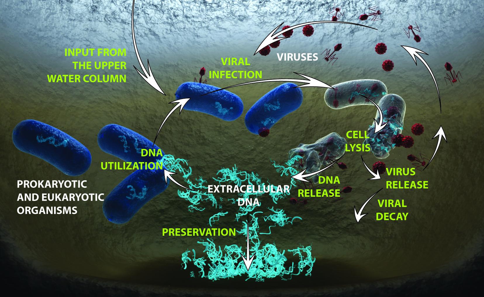 Interazioni tra virus e procarioti e loro ruolo nel funzionamento degli ecosistemi marini