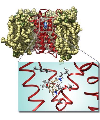 dinamica del meccanismo di inibizione del recettore serotinico