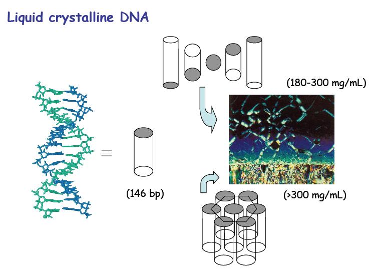 Polimorfismo liotropico del DNA. La molecola è schematizzata come un cilindro. L'immagine è stata ottenuta al microscopio polarizzatore, in un campione di DNA con gradiente di concentrazione