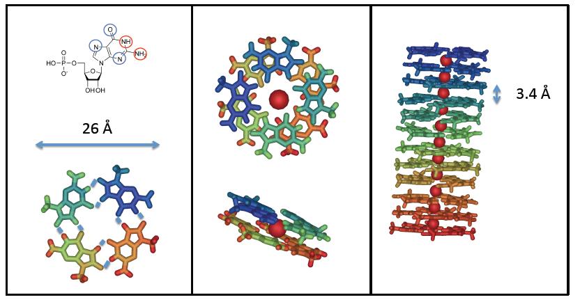 Self-assembling della GMP: struttura molecolare di un tetramero, un ottamero e un quadruplesso di GMP. La sfera rossa rappresenta uno ione alcalino.