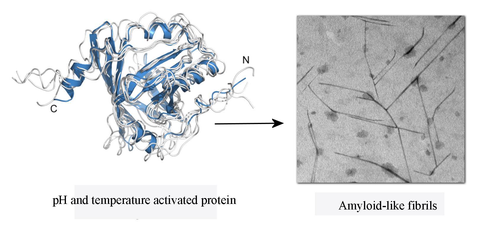 Studi di stabilità, di aggregazione e fibrillazione di proteine amiloidogeniche