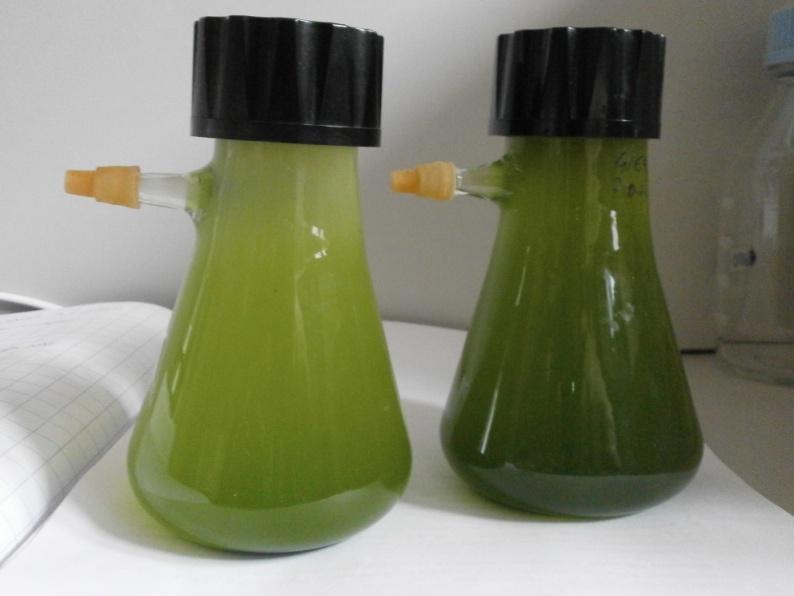 Coltivazione anaerobica di microalghe per la produzione di idrogeno